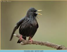 spotless-starling-02.jpg