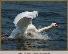 mute-swan-15.jpg
