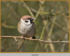 tree-sparrow-24.jpg
