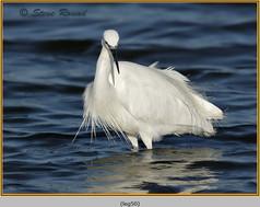 little-egret-50.jpg