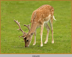 fallow-deer-08.jpg