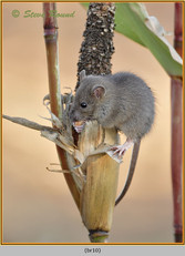 brown-rat-10.jpg