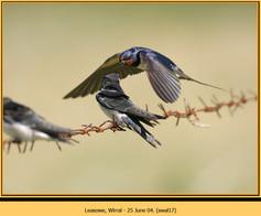swallow-17.jpg