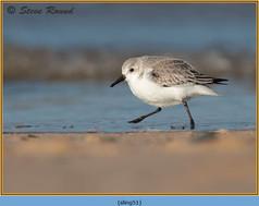 sanderling-51.jpg
