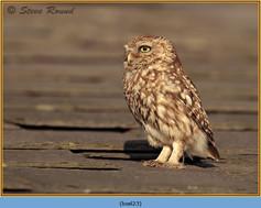 little-owl-23.jpg