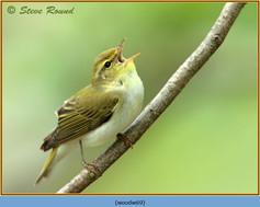 wood-warbler-69.jpg