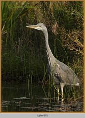 grey-heron-39.jpg