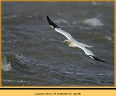 gannet-38.jpg