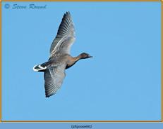 pink-footed-goose-66.jpg
