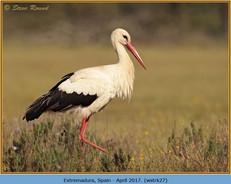 white-stork-27.jpg