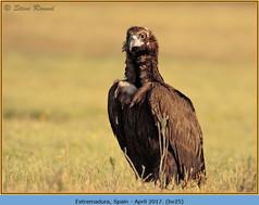 black-vulture-25.jpg