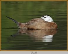whited-headed-duck-02c.jpg
