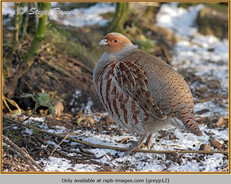 grey-partridge-12.jpg