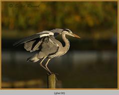 grey-heron-30.jpg