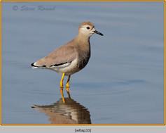 white-tailed-lapwing-33.jpg