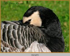 barnacle-goose-05.jpg
