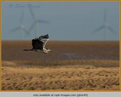 grey-heron-49.jpg