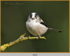 long-tailed-tit-66.jpg