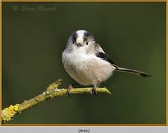 long-tailed-tit-66.jpg