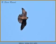 eleonoras-falcon-02.jpg