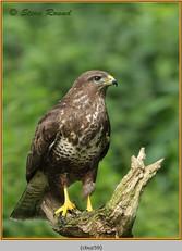 buzzard- 59.jpg