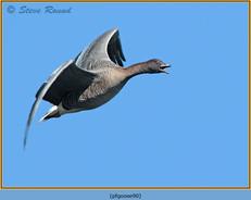 pink-footed-goose-90.jpg