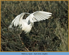 little-egret-82.jpg