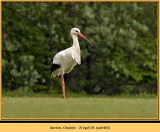 white-stork-05.jpg