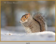 grey-squirrel-20.jpg