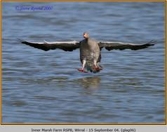 greylag-goose-06.jpg