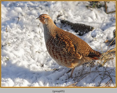 grey-partridge-05.jpg