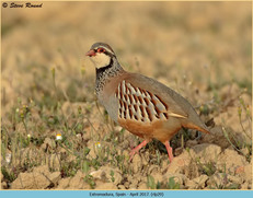 red-legged-partridge-29.jpg