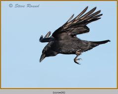 carrion-crow-26.jpg