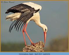white-stork-19.jpg