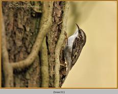 treecreeper-31.jpg