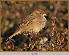 house-sparrow-36.jpg