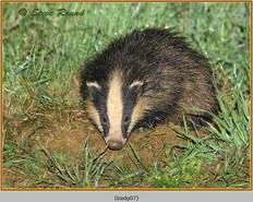 badger-07.jpg