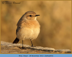 desert-wheatear-03.jpg