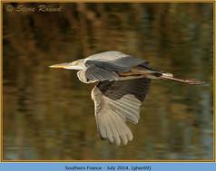 grey-heron-69.jpg
