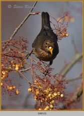 blackbird-53.jpg