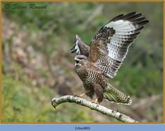 buzzard- 80.jpg