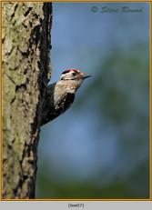 lesser-spotted-woodpecker-07.jpg