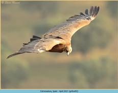 griffon-vulture-92.jpg
