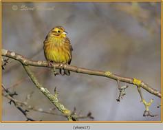 yellowhammer-17.jpg