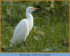 cattle-egret-58.jpg