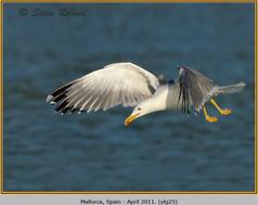 yellow-legged-gull-25.jpg