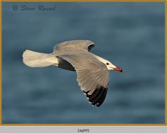 audouin's-gull-09.jpg