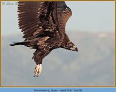 black-vulture-29.jpg