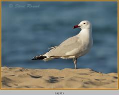 audouin's-gull-11.jpg