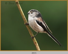long-tailed-tit-57.jpg